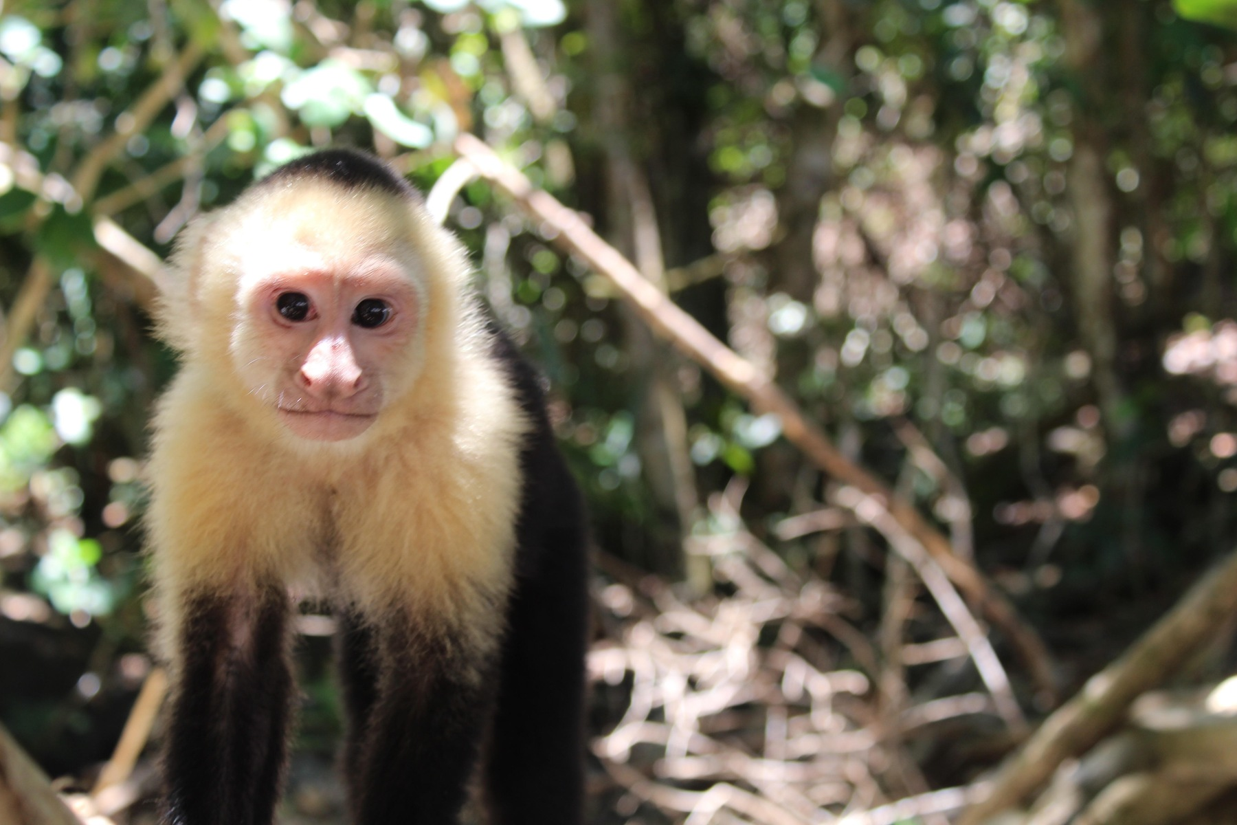 Cariblanco - White-Faced Capuchin